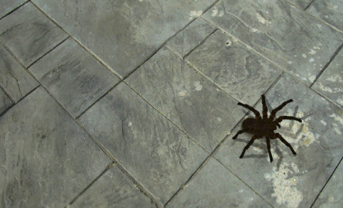 spidernew